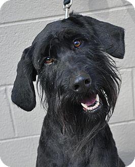 Giant Schnauzer Mix Dog for adoption in Atlanta, Georgia - Melvin