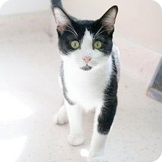 Domestic Shorthair Cat for adoption in Janesville, Wisconsin - Donald