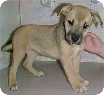 Labrador Retriever/German Shepherd Dog Mix Puppy for adoption in North Judson, Indiana - Doodle
