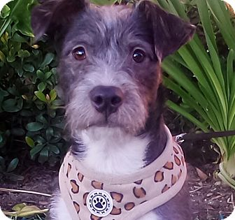 Schnauzer (Miniature) Mix Puppy for adoption in pasadena, California - BELL