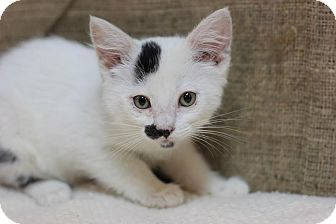 Domestic Shorthair Kitten for adoption in Midland, Michigan - Pelly
