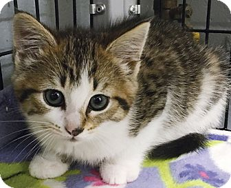 Domestic Shorthair Kitten for adoption in Clayville, Rhode Island - Little Tiger Lady