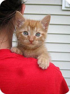 Domestic Shorthair Kitten for adoption in Flora, Illinois - Rusty