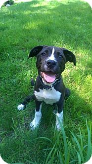 Pit Bull Terrier/Labrador Retriever Mix Puppy for adoption in Framingham, Massachusetts - Linna