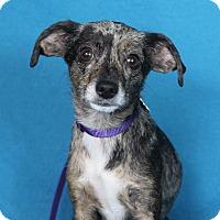 Adopt A Pet :: Iris - Minneapolis, MN