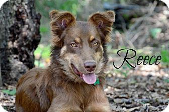 Australian Shepherd Mix Puppy for adoption in Chester, Connecticut - Reece