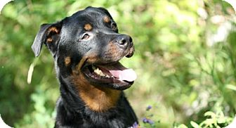 Rottweiler Mix Dog for adoption in Carlsbad Springs, Ontario - Jasper