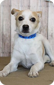 Parson Russell Terrier Mix Puppy for adoption in Waldorf, Maryland - Billy