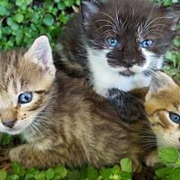 Bengal Kitten for adoption in Sunny Isles Beach, Florida - Kittens