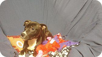 Labrador Retriever/German Shepherd Dog Mix Puppy for adoption in Forest Hill, Maryland - Lola