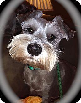 Miniature Schnauzer Dog for adoption in Winter Haven, Florida - Gracie