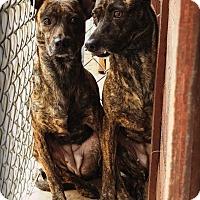 Adopt A Pet :: Whizzle & Tiny - San Antonio, TX