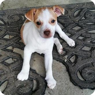 Chihuahua/Jack Russell Terrier Mix Dog for adoption in Arlington, Virginia - Sadie