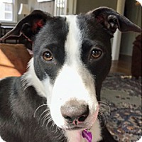 Adopt A Pet :: Harper - Oakhurst, NJ