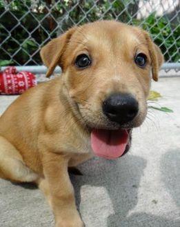 Australian Cattle Dog/American Pit Bull Terrier Mix Dog for adoption in Fairfield, Iowa - Davina