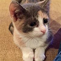 Adopt A Pet :: Callista - Tomball, TX