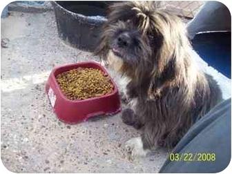 Lhasa Apso Mix Dog for adoption in springtown, Texas - SADIE