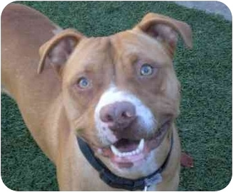 American Pit Bull Terrier/American Staffordshire Terrier Mix Dog for adoption in San Pedro, California - Rhubarb *URGENT*