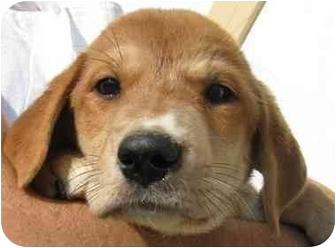 Basset Hound Mix Puppy for adoption in Chapel Hill, North Carolina - Lonni