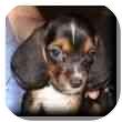 Basset Hound Puppy for adoption in Marietta, Georgia - Lily