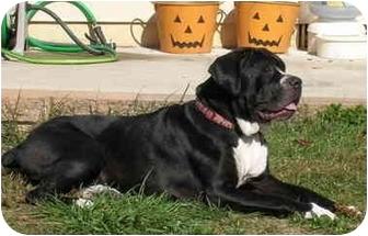 Boxer/Mastiff Mix Dog for adoption in Turnersville, New Jersey - Sissy