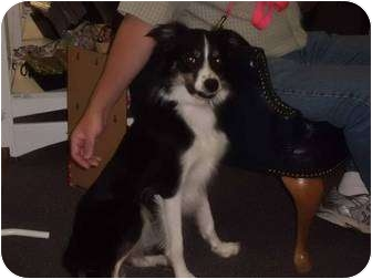 Border Collie Dog for adoption in Bellevue, Nebraska - Riane