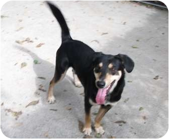 Rottweiler/Shepherd (Unknown Type) Mix Puppy for adoption in Edwardsville, Illinois - Max