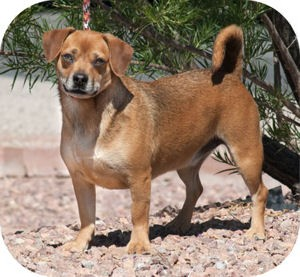 Dachshund Mix Dog for adoption in Santa Fe, New Mexico - Blitz (paired with Bruno)