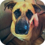 German Shepherd Dog Mix Dog for adoption in St. Louis, Missouri - Colt (Courtesy Posting)