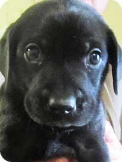 Labrador Retriever Puppy for adoption in Oswego, Illinois - I'M ADOPTED Yang Waldschmidt