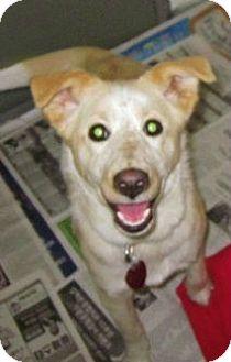 Labrador Retriever Mix Dog for adoption in Beacon, New York - Blondie