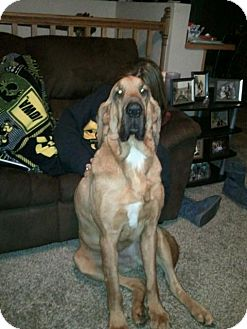 Bloodhound Dog for adoption in Cedar Rapids, Iowa - Duke