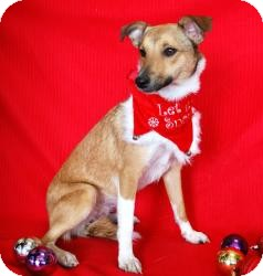 Sheltie, Shetland Sheepdog/Collie Mix Dog for adoption in Dallas, Texas - Tilly