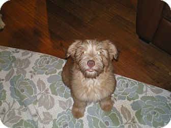 Golden Retriever/Standard Poodle Mix Puppy for adoption in Apex, North Carolina - Dewy