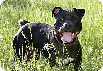 American Pit Bull Terrier Mix Dog for adoption in Dallas, Texas - Midnight
