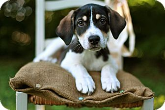 Beagle Mix Puppy for adoption in Salem, New Hampshire - PUPPY SCOUT