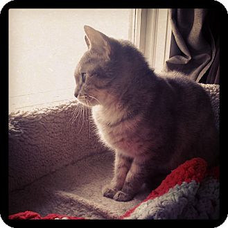 Domestic Shorthair Cat for adoption in Staten Island, New York - Wendy