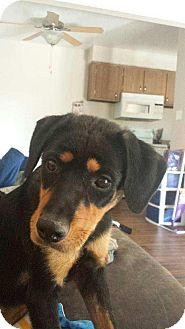 Rottweiler Mix Puppy for adoption in Mesa, Arizona - NIKE - 6 MO ROTTY FEMALE