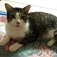 Domestic Shorthair Cat for adoption in Mesa, Arizona - Purrby