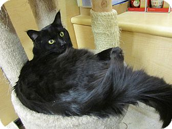 Maine Coon Cat for adoption in Gainesville, Virginia - Ollie