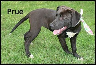 Labrador Retriever Mix Dog for adoption in Houston, Texas - Prue