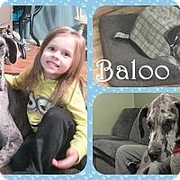Adopt A Pet :: Baloo - DOVER, OH