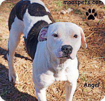 Pit Bull Terrier/Bull Terrier Mix Dog for adoption in Danielsville, Georgia - Angel