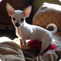Adopt A Pet :: Cotton - Gainesville, FL