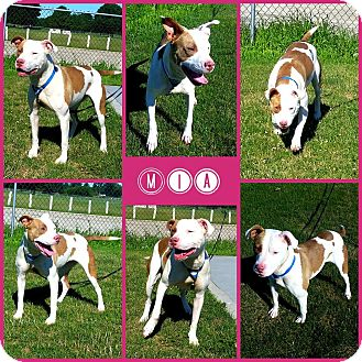 Pit Bull Terrier Mix Dog for adoption in Joliet, Illinois - Mia