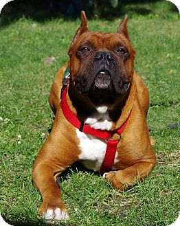 Boxer Dog for adoption in Boise, Idaho - Bruce