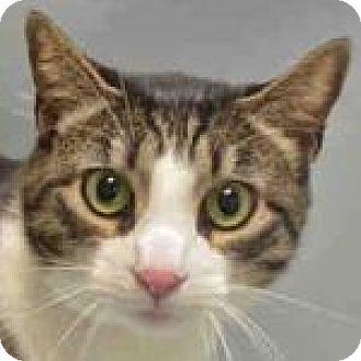 Domestic Shorthair Cat for adoption in Medford, Massachusetts - Rio
