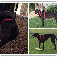Adopt A Pet :: Caroline - Knoxville, TN