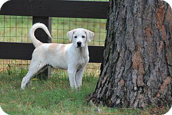 Great Pyrenees/Labrador Retriever Mix Puppy for adoption in Bend, Oregon - Polo