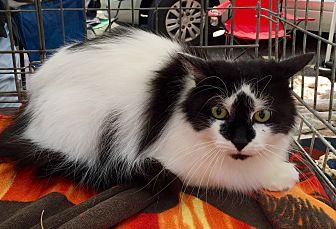 Persian Cat for adoption in Trenton, New Jersey - Zoe